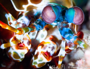 Mantis Shrimp by Timothy Nguyen